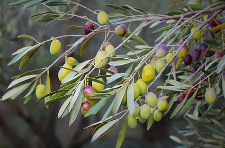 olivenbaum oliven und olivenl auf kreta und in griechenland. Black Bedroom Furniture Sets. Home Design Ideas